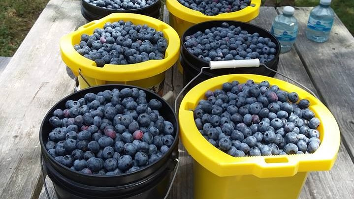 Local fruit from our area, blueberries.